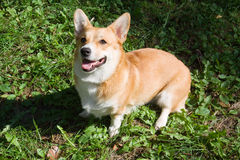 A Welsh Corgi Pembroke dog. In a summery day in a meadow stock photos