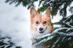 Welsh corgi pembroke dog in winter scenario, in the middle of pines with snow on its head, looking nice to the camera stock image
