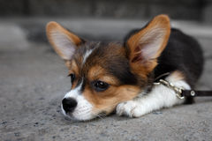 Welsh Corgi Pembroke dog. The young Welsh Corgi Pembroke lie on a ground Royalty Free Stock Photo