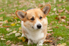 Welsh corgi pembroke Royalty Free Stock Photo