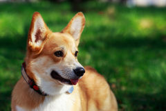 Welsh Corgi Pembroke. On the grass in summer sunny day Royalty Free Stock Images