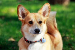 Welsh Corgi Pembroke. On the grass in summer sunny day Stock Image