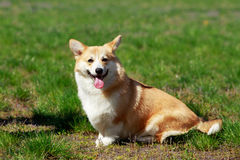 Welsh Corgi Pembroke. On the grass in summer sunny day Stock Photo