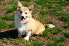 Welsh Corgi Pembroke. On the grass in summer sunny day Royalty Free Stock Photography