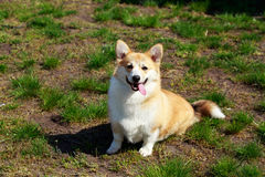 Welsh Corgi Pembroke. On the grass in summer sunny day Stock Images