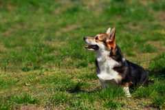 Welsh Corgi Pembroke. On the grass in summer sunny day Royalty Free Stock Photos