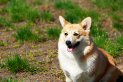Welsh Corgi Pembroke. On the grass in summer sunny day Royalty Free Stock Photo