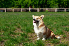 Welsh Corgi Pembroke. On the grass in summer sunny day Royalty Free Stock Image
