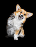 Welsh Corgi Pembroke high five, isolated on black Stock Photo