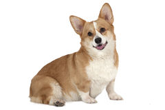 Welsh corgi Pembroke isolated on white Stock Photography
