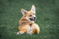 Welsh Corgi Pembroke lies on the grass in summer time Royalty Free Stock Images