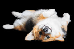 Welsh Corgi Pembroke lying on the back, isolated on black Royalty Free Stock Images