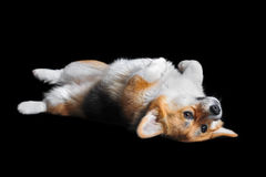 Welsh Corgi Pembroke lying on the back, isolated on black Royalty Free Stock Photo