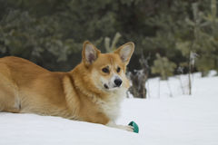 Welsh Corgi Pembroke Lying on Snow Stock Image