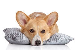 Welsh corgi Pembroke lying on a soft pillow Royalty Free Stock Photography