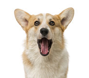 Welsh Corgi Pembroke (7 months old) Royalty Free Stock Photo