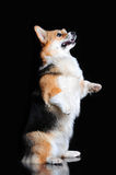 Welsh Corgi Pembroke performs tricks, isolated on black Royalty Free Stock Image