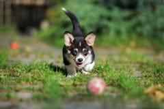 Welsh corgi pembroke puppy outdoors. Adorable welsh corgi pembroke puppy Stock Images