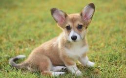 Welsh corgi pembroke puppy portrait stock photo