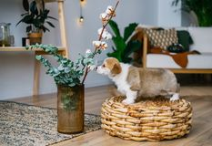 Welsh Corgi Pembroke puppy smelling flowers in home room. Cute Welsh Corgi Pembroke puppy smelling flowers in home room royalty free stock photo