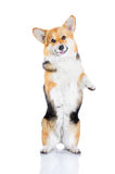 Welsh Corgi Pembroke rearing up, isolated on white Royalty Free Stock Image