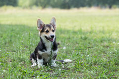 Welsh Corgi Pembroke. Royalty Free Stock Photography