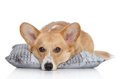 Welsh corgi Pembroke on a soft pillow Royalty Free Stock Photo