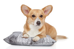 Welsh corgi Pembroke on a soft pillow Stock Photo