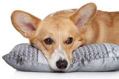 Welsh corgi Pembroke on soft pillow Stock Image