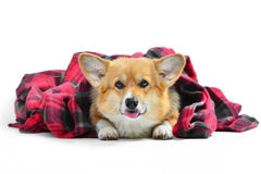 Welsh corgi pembroke in studio in front isolated on white backgr Royalty Free Stock Photography
