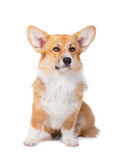 Welsh corgi pembroke in studio in front isolated on white backgr Stock Image