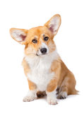 Welsh corgi pembroke in studio in front isolated on white backgr Stock Photos