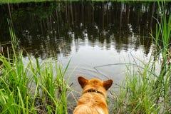 Welsh corgi pembroke swimming in lake royalty free stock images