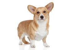 Welsh corgi Pembroke on white background Royalty Free Stock Images