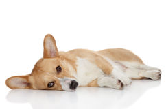 Welsh corgi Pembroke on a white background Stock Images
