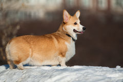 Welsh corgi pembroke Royalty Free Stock Images