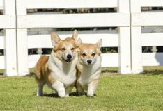 Welsh Corgi Pembrokes. Two young, healthy, beautiful, red sable and white Welsh Corgi Pembroke dogs with a docked tail walking on the grass happily. The Welsh royalty free stock photo