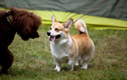 Welsh Corgi Stock Photos