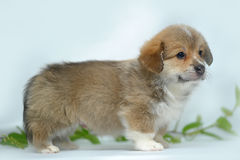 Welsh corgi puppy Royalty Free Stock Photo