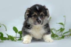 Welsh corgi puppy Royalty Free Stock Photos