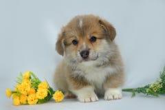 Welsh corgi puppy Royalty Free Stock Image