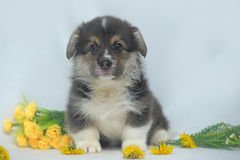 Welsh corgi puppy Stock Photo
