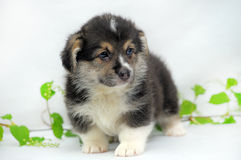 Welsh corgi puppy Stock Photos