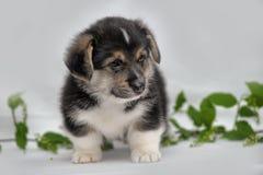 Welsh corgi puppy Stock Photography
