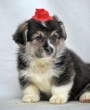 Welsh corgi puppy Royalty Free Stock Images