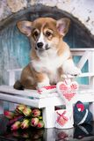 Corgi puppy and flower royalty free stock images