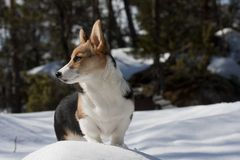 Welsh corgi puppy. Pedigree puppy, welsh corgi pembroke Stock Images