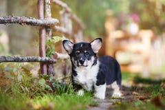 Welsh corgi puppy  posing outdoors Royalty Free Stock Image