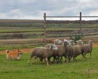 Welsh Corgi sheepherding group of sheep. Welsh Corgi working as sheepdog with flock of sheep in a meadow Stock Photo