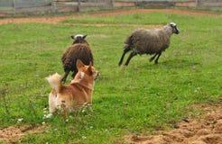 Welsh Corgi sheepherding group of sheep. Welsh Corgi working as sheepdog with flock of sheep in a meadow Stock Image